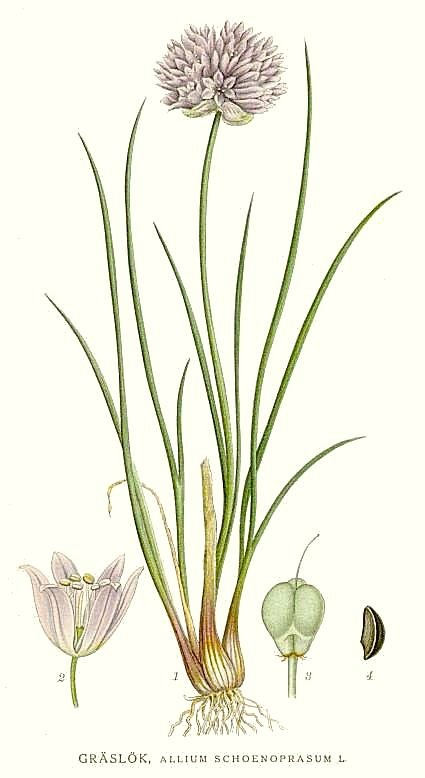 green onions vs chives