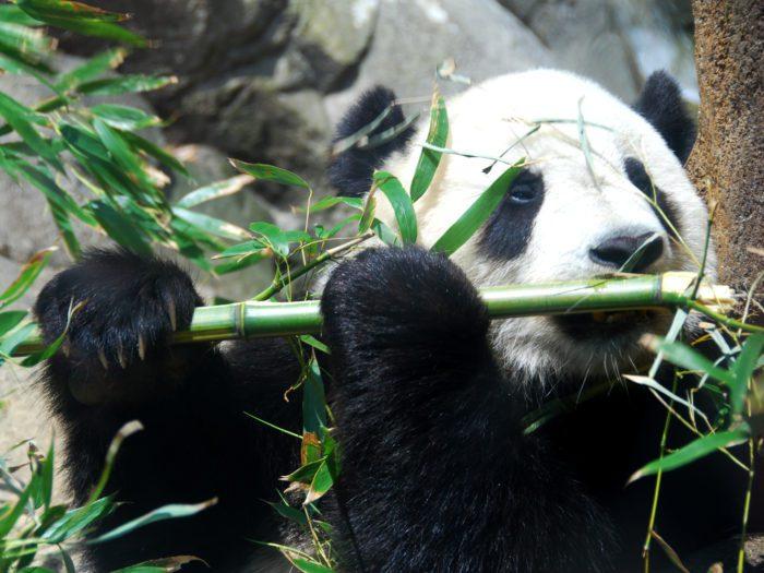 panda herbivore folivore