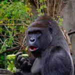 gorilla herbivore folivore