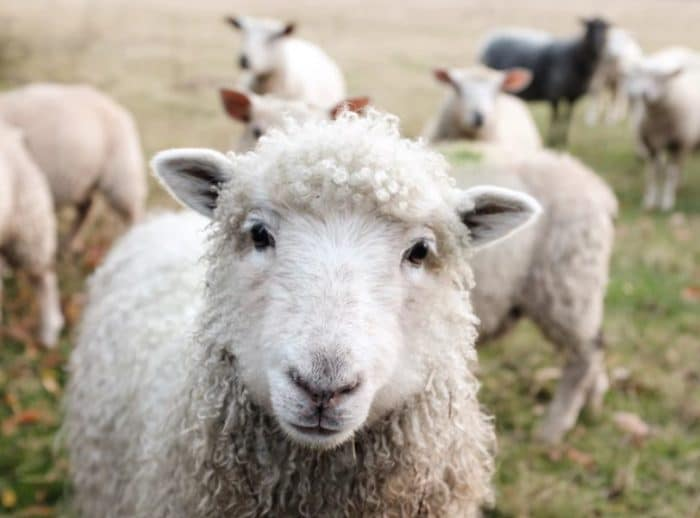questioning sheep wants to know the arguments against veganism